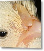 White Leghorn Chick Metal Print
