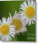 Wildflower Named Robin's Plantain Metal Print