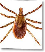 Yellow Dog Tick Metal Print