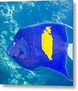 Yellowbar Angelfish Metal Print