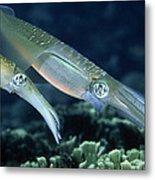 Bigfin Reef Squid Metal Print