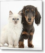 Blue-point Kitten & Dachshund Metal Print