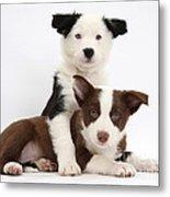 Border Collie Puppies Metal Print