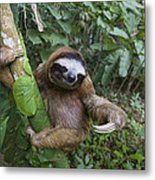 Brown-throated Three-toed Sloth Metal Print