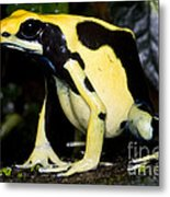 Dyeing Poison Frog Metal Print