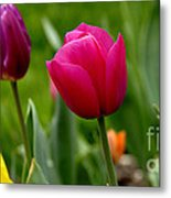 Tulip Garden University Of Pittsburgh  Metal Print