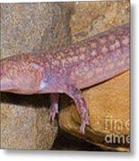 West Virginia Spring Salamander Metal Print