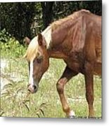 Wild Spanish Mustang Of Obx Nc Metal Print