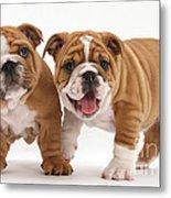 Bulldog Puppies Metal Print
