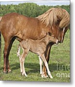 Chestnut Icelandic Horse With Newborn Foal Metal Print