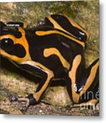 Crowned Poison Frog Metal Print