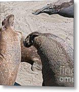 Elephant Seal Colony On Big Sur  Metal Print