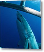 Male Great White Shark, Guadalupe Metal Print