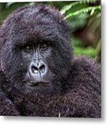 Mountain Gorilla Metal Print
