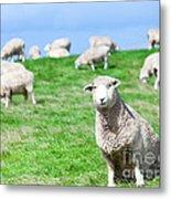 Sheeps Metal Print