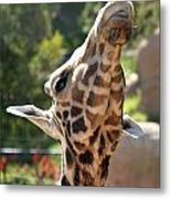 Baringo Giraffe Metal Print