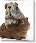 Guinea Pigs Metal Print