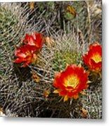 Red Cactus Flowers Metal Print