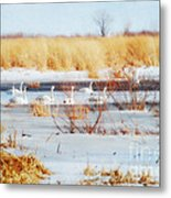 7 Swans Swimming  Metal Print