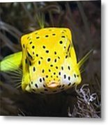 Yellow Boxfish Metal Print