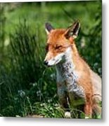 A British Red Fox Metal Print