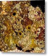 Frogfish Metal Print