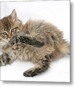 Maine Coon Kitten Metal Print