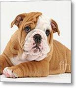 Bulldog Pup Metal Print