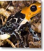 Crowned Poison Frog Metal Print