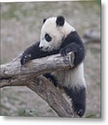 A Baby Panda Plays On A Branch Metal Print