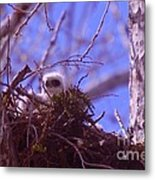 A Baby Red Tail Gazing From Its Nest Metal Print