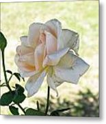 A Beautiful White And Light Pink Rose Along With A Bud Metal Print
