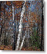 A Birch Radiating Its White Beauty In The Forest Metal Print