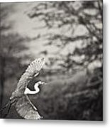 A Bird With A Large Wing Span Takes Metal Print