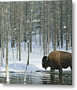 A Bison Stands In A Cold  Stream Metal Print