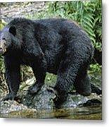 A Black Bear, Ursus Americanus, Walks Metal Print