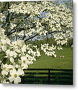 A Blossoming Dogwood Tree In Virginia Metal Print