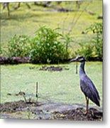 A Blue Bird In A Wetland -yellow-crowned Night Heron  Metal Print