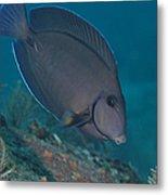 A Blue Tang Surgeonfish, Key Largo Metal Print