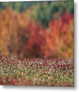 A Blueberry Patch Alongside Maines Metal Print