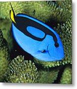 A Bright Blue Palette Surgeonfish Metal Print