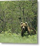 A Brown Bear In Tall Grasses Metal Print