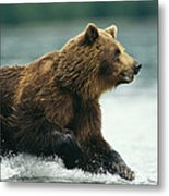 A Brown Bear Rushing Through Water Metal Print