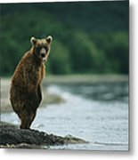 A Brown Bear Standing At Waters Edge Metal Print