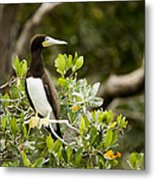 A Brown Booby Sula Leucogaster Metal Print by Tim Laman
