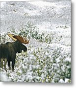 A Bull Moose On A Snow Covered Hillside Metal Print by Rich Reid
