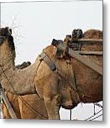 A Camel Foraging For Food In A Desert Environment Metal Print