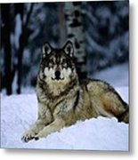 A Captive Grey Wolf, Canis Lupus Metal Print by Joel Sartore