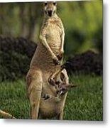 A Captive Red Kangaroo Macropus Rufus Metal Print