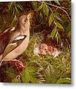 A Chaffinch At Its Nest Metal Print